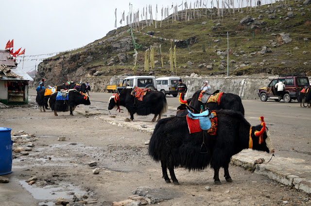 Yaks at Changu Lake, East Sikkim