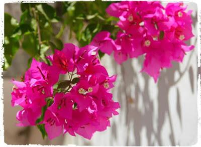 Tukang taman surabaya tanaman hias bougenvilla