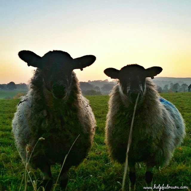 sunset sheep Yorkshire Dales