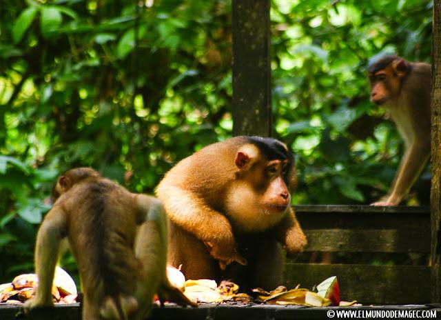 ver-orangutanes-en-borneo-sepilok-macacos