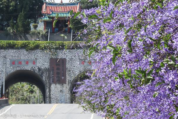 南投中寮|671茶花園|錫葉藤(許願藤)花牆|紫色風暴來襲|長源隧道|校長鳳梨
