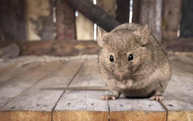 4 kelebihan fizikal yang ada pada tikus
