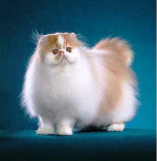 Gambar Kucing Persia Lucu 10002