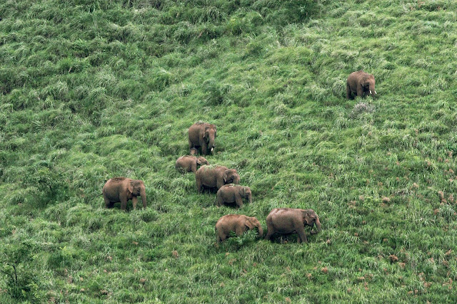 Asian elephant, elephant in western ghats, elephant in kerala, kerala elephant, wild elephant, elephant as seed dispersers