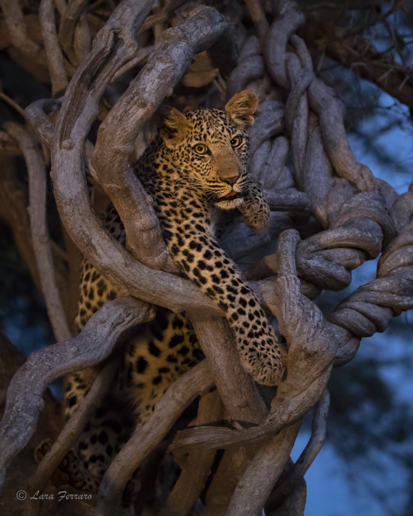 Leopard cub in tree surrounded by vines