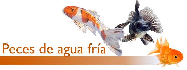 http://www.acuarioamazonic.com/2017/08/peces-de-agua-fria.html