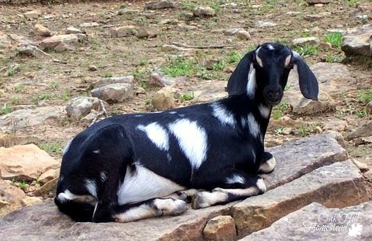 Goats can be an integral part of an overall parasite reduction program on your homestead.