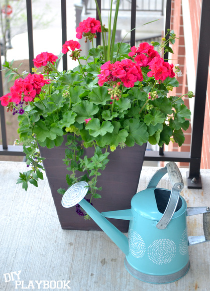 I love these geraniums in this modern planters, and the bright blue watering can is so much fun!
