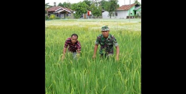 Perawatan Tanaman Padi di Desa Kebun Kelapa Oleh Petani Didampingi Babinsa Koramil 08/Secanggang