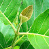 Awesome Benefits of Teak Leaves For Health
