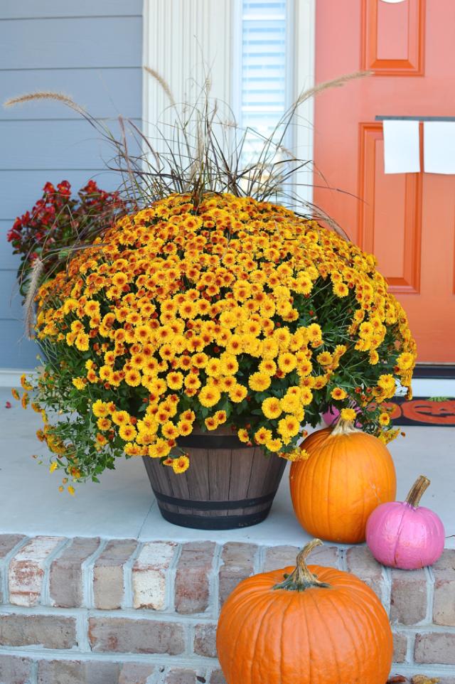 an oversized mums and pumpkins