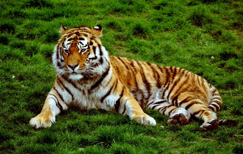 Gambar: Gambar Harimau Lengkap
