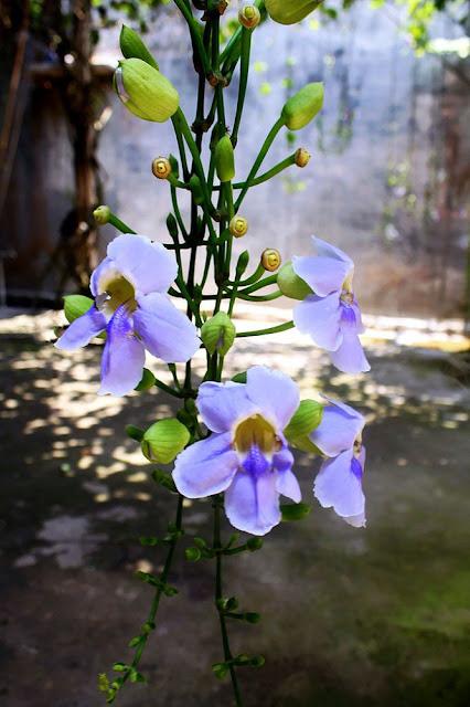 Hoa Bông Báo - Thunbergia grandiflora - Nguyên liệu làm thuốc Đắp vết thương Rắn Rết cắn