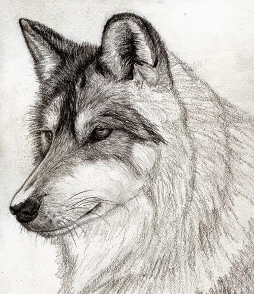 رسم ذئب بقلم الرصاص للمبتدئين | Dz Fashion - photo#23