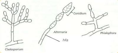 Struktur Jamur (Fungi) Deuteromycota