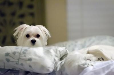 por que nos siguen a todos sitios los perros malteses