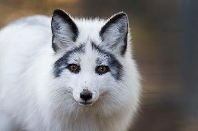 Rubah abu-abu Arktik (Marble Fox), Hewan Rubah, Spesies Hewan Rubah, Tentang Hewan Rubah, Memelihara Hewan Rubah,