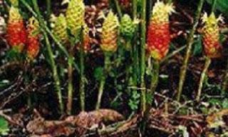 tanaman obat Lempuyang
