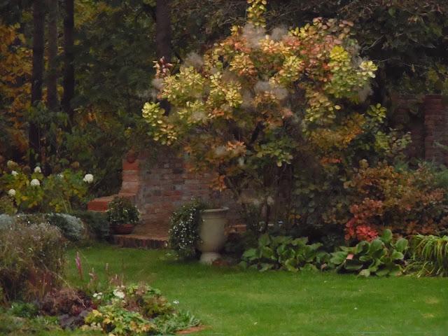 perukowiec Ancot jesienią