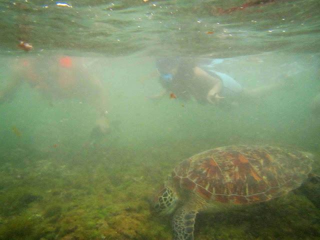 swim turtle apo island
