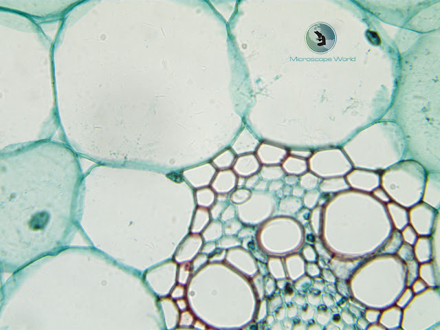 Microscope World image of monocot and dicot at 400x.