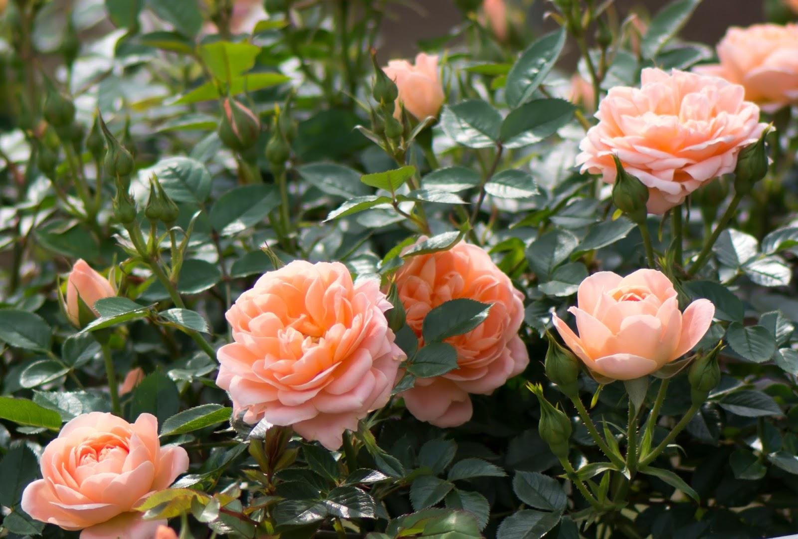 promesse de roses roses anciennes d 39 hier et d 39 aujourd 39 hui. Black Bedroom Furniture Sets. Home Design Ideas