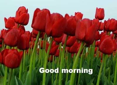 Romantic good morning images with flowers - beautiful tulips wallpapers