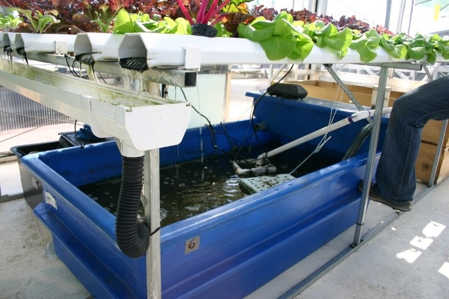 Pembesaran Ikan Lele Dengan Sistem Aquaponik