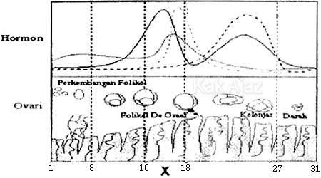 Bagan siklus menstruasi, soal reproduksi manusia, Biologi UN 2017