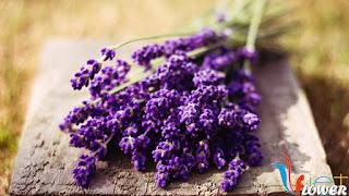 Hoa oai huong, lavender