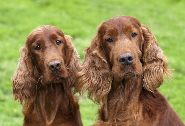 Names for the Red Setter Dog