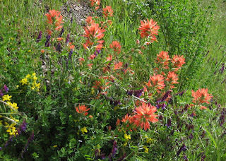 California Goldenbanner (yellow), Winter Vetch (purple), and Indian Paintbrush (red)