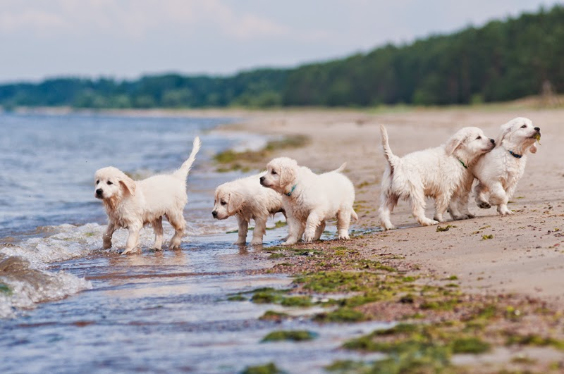 Golden retriever puppies play on the beach