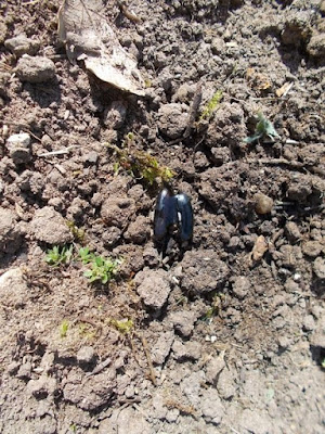 Semine di aprile nell'orto biologico: i fagiolini.