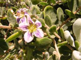 Yaoyín Lycium chilense