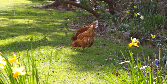 ash cottage garden with hens
