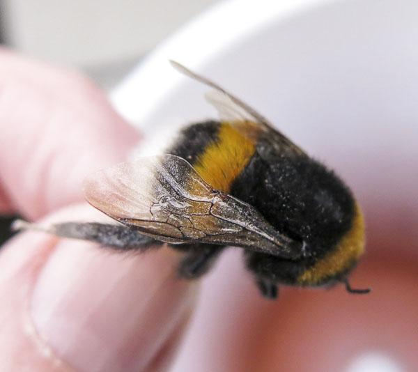 humla, bumblebee