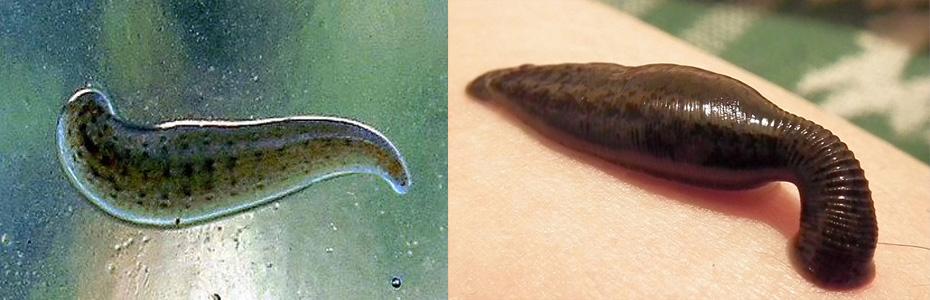 Hirudinea ~ Phylum Annelida