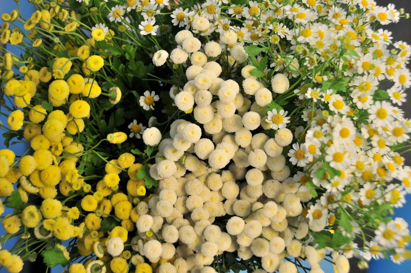 The healing power of matricaria flower talk yellow button white button and white daisy matricaria izmirmasajfo Image collections