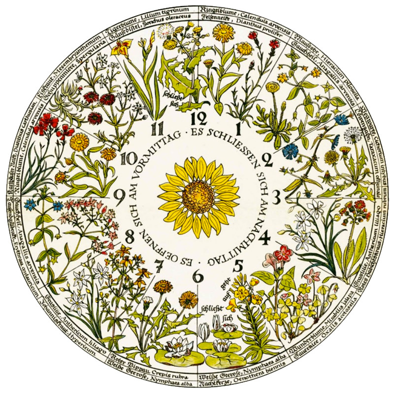 Linnaeus's Flower Clock