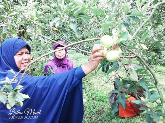 Petik Apel di Kusuma Agrowisata-Batu