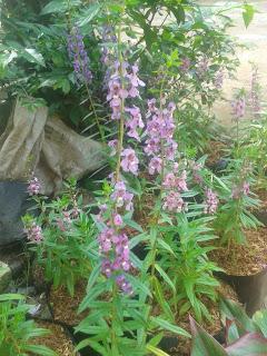 Jual Pohon Lavender Di Jakarta | Tanaman Pengusir Nyamuk