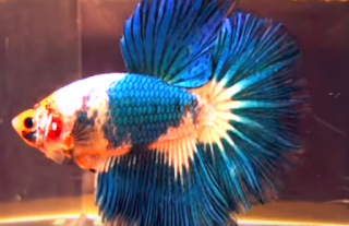 Peluang Usaha Cara Budidaya Ikan Hias Di Akuarium