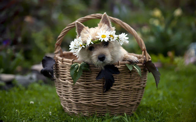 Hond in een mand op het gras