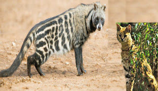 civet, civet cat