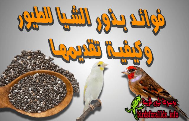 فوائد الشيا le chia للطيور وكيف تقدمها