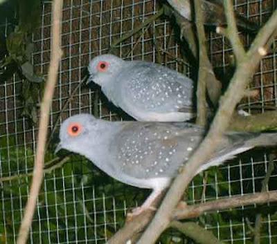 Perkutut Australia - jenis burung perkutut