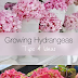 Tips For Growing Hydrangeas #Flowers
