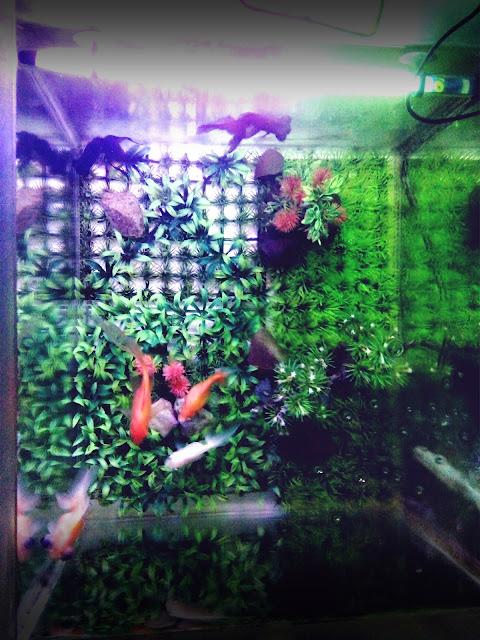 Kalian mempunyai aquarium dirumah atau baru membeli aquarium yang bisa dibilang tidak terlalu besar untuk memelihara ikan hias? bingung apa saja hal yang baik dan benar saat merawat aquarium? selain makanan, umur ikan hias menjadi panjang juga tergantung dengan kebersihan dari aquarium yang kalian miliki