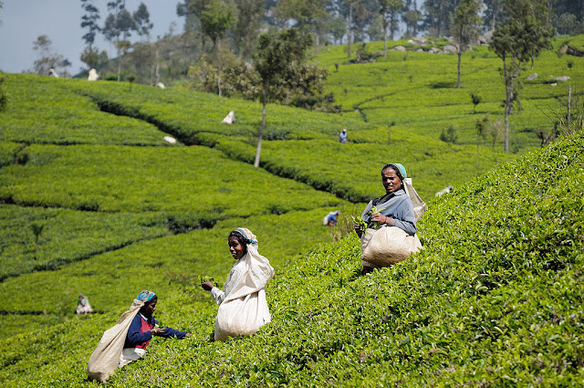 Women picking tea leaves in a plantation of central Sri Lanka